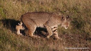 Bobcat scientific name Lynx Rufus