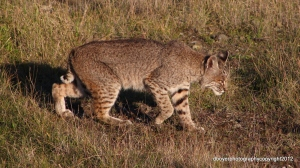 Bobcat scientific name Lynx Rufus