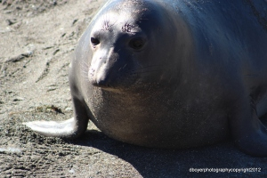 Parent Elephant Seal