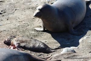 Parent Elephant Seal looking down on deceased pup