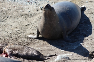 Parent Elephant Seal shedding tears?