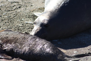 Parent Elephant Seal looking at deceased pup