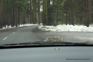 Coyote in Yosemite