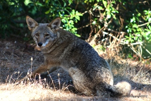 Coyote Adult