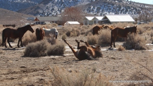 Wild Horse herd in Nevada