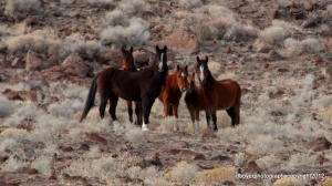 Band of Mustangs Virginia Range, Nevada