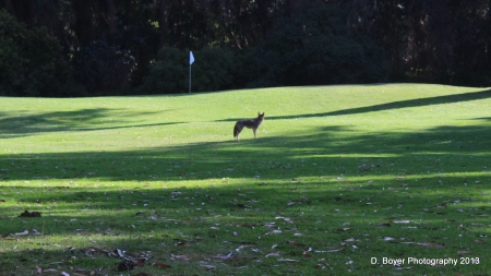 Coyote Golden Gate Park