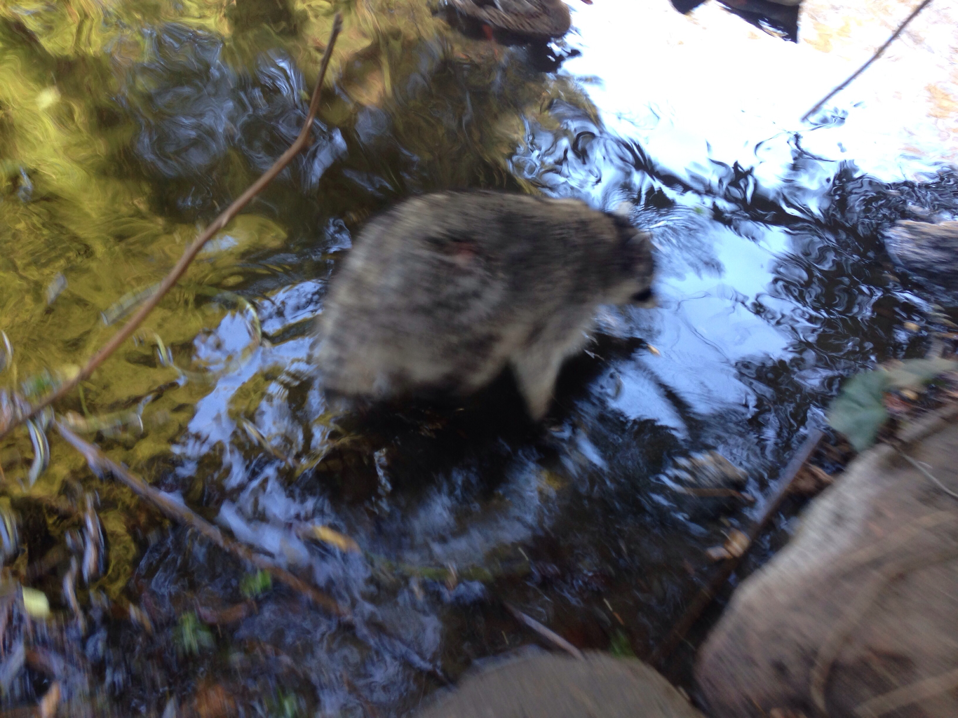 A die-ing Raccoon in Golden Gate Park | Photography ... Raccoon With Mange