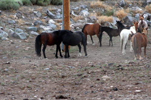 Wild Horses on the Virginia Range