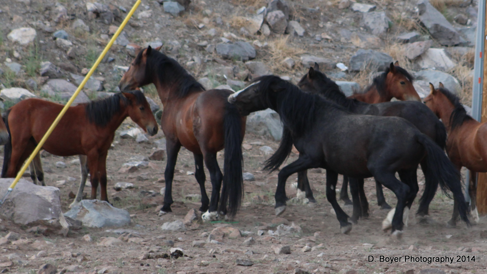 Wild Horses on the Virginia Range in Nevada | Photography