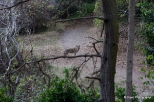 Coyote encounter Golden Gate Park