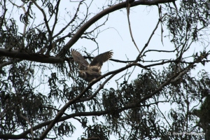 Great Horned Owls Mating