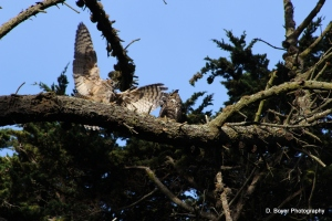 Great Horn Owl mating