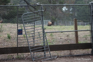 Ladder set- up on fence to bison paddock using police barriers