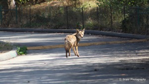 You Coming? An Urban Coyote Encounter